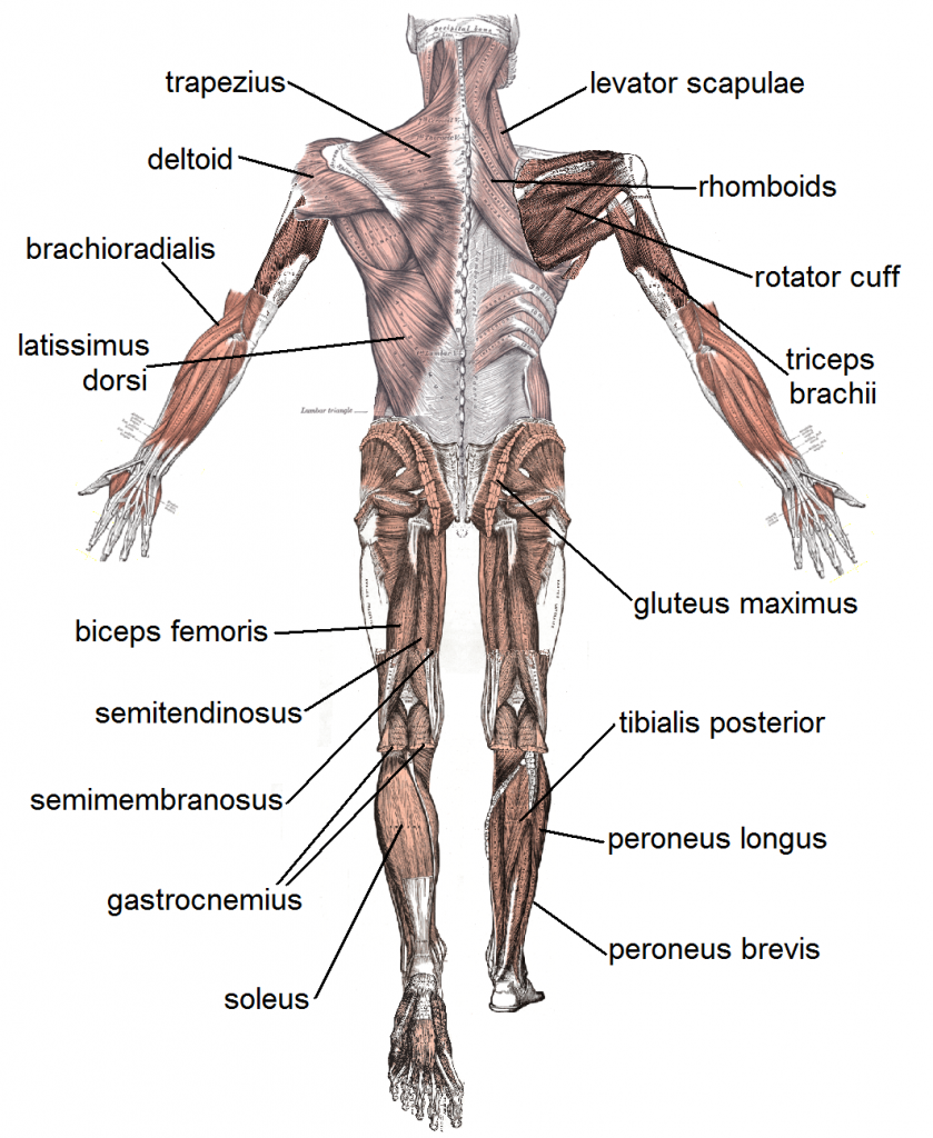 Muscle System (Posterior)