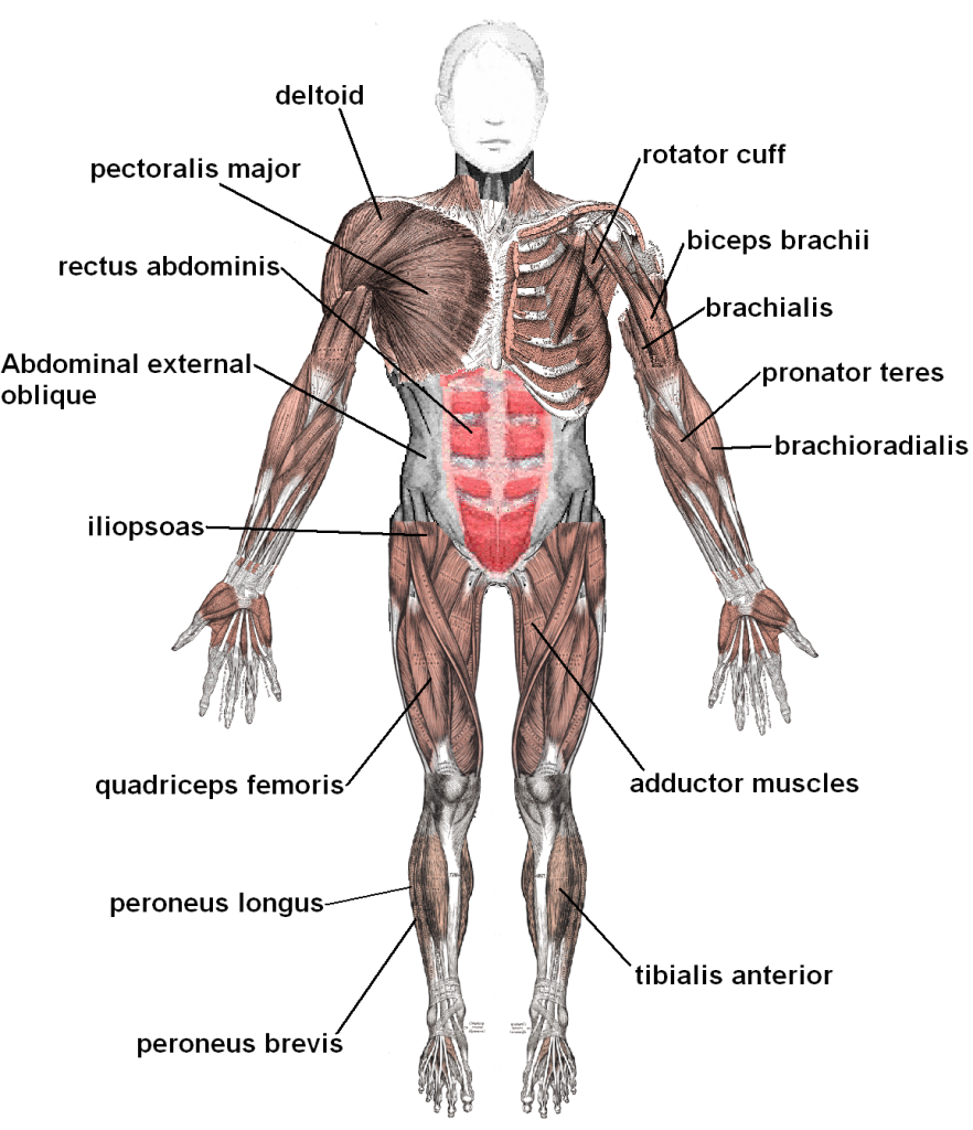 Muscle System (Anterior)